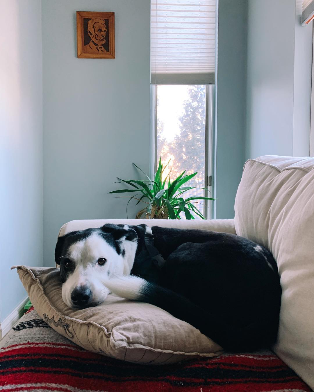 Black and white dog on couch.