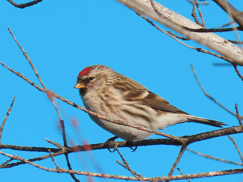 A floofy Redpoll sits on a branch.