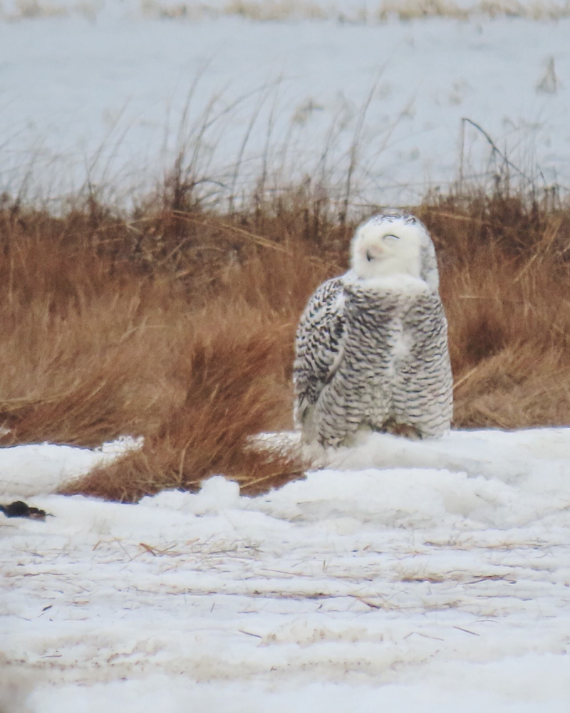 A snowy owl preening on the shore.