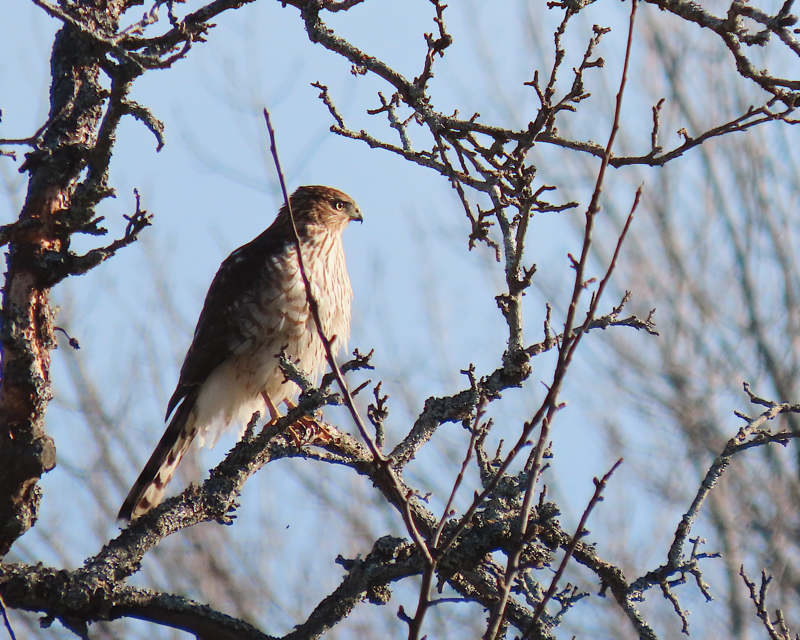 Cooper's hawk hanging out in a leafless tree.