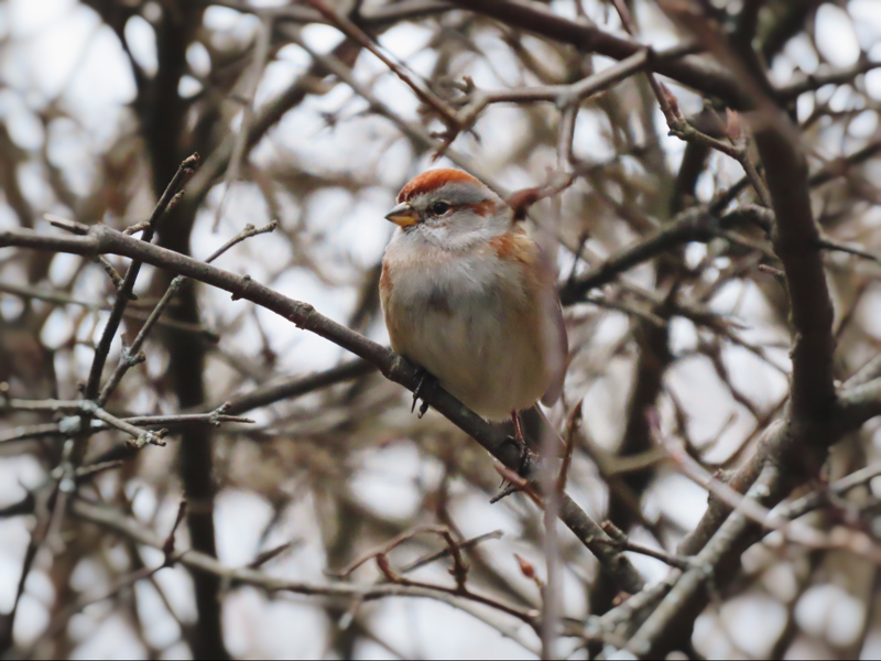 A little sparrow in a leafless tree.