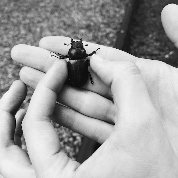 A very large beetle held gently between two fingers.