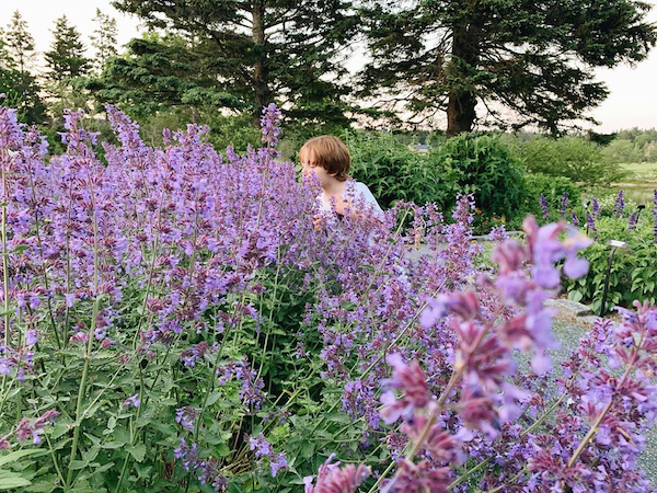 Sniffing a field of lupines.